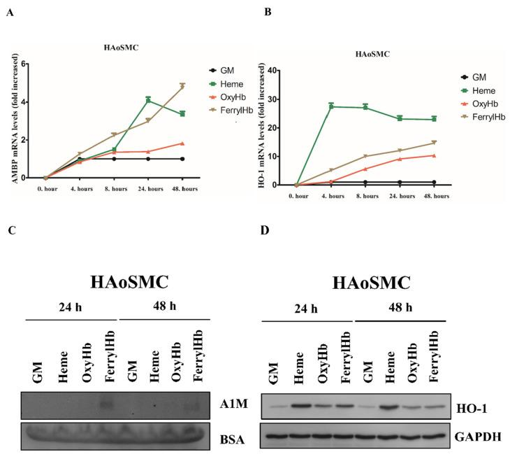A1M expression is induced in human aortic smooth muscle cells (HAoSMCs). HAoSMCs were exposed to heme (10 µM), OxyHb (10 µM), or FerrylHb (10 µM) in the presence of 5% foetal calf serum. A1M ( A ) and HO-1 ( B ) mRNA expression was quantified by qPCR after 4, 8, 24 and 48 h. ( C ) Secreted A1M protein was detected by immunoblotting in cell culture supernatants, while HO-1 protein expression ( D ) was examined in cell lysates after 24 and 48 h. GM: growth medium, BSA: bovine serum albumin, <t>GAPDH:</t> glyceraldehyde 3-phosphate dehydrogenase.