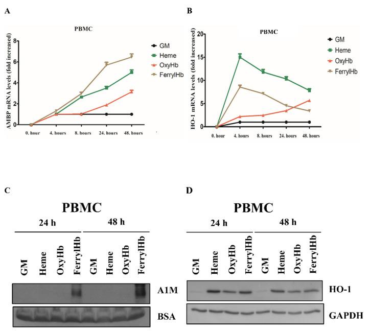 A1M expression is induced in human peripheral blood mononuclear cells (PBMCs). PBMCs were exposed to heme (10 µM), OxyHb (10 µM), or FerrylHb (10 µM) in the presence of 5% foetal calf serum. A1M ( A ) and HO-1 ( B ) mRNA expression was quantified by qPCR after 4, 8, 24 and 48 h. ( C ) Secreted A1M protein was detected by immunoblotting in cell culture supernatants, while HO-1 protein expression ( D ) was examined in cell lysates after 24 and 48 h. GM: growth medium, BSA: bovine serum albumin, GAPDH: glyceraldehyde 3-phosphate dehydrogenase.