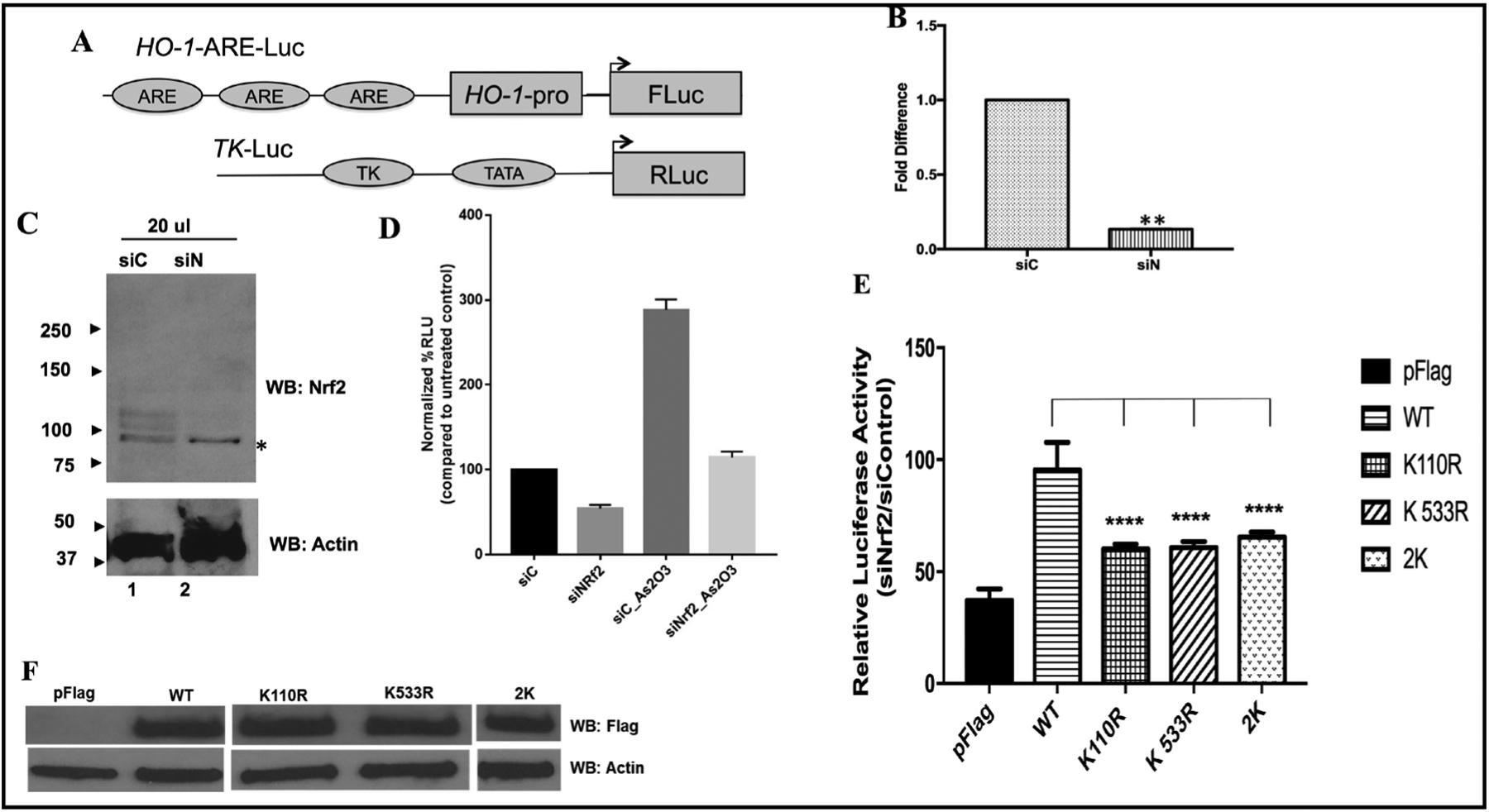 SUMO-2 acceptor K 110 and K 533 are needed for efficient transcriptional a ctivity of Nrf2. A, Schematic of the HO-1-ARE-Luc (firefly luciferase, experimental) and Tk-Luc (control) promoters used in the luciferase reporter assay. HEK293T cells were transfected with 100 ηM control siRNA or Nrf2 siRNA for 48 hrs. B. Quantitative RT-PCR analysis of the levels of Nrf2 mRNA in HEK293T cells after knockdown with siC: scrambled control siRNA, siN: siRNA against 3'UTR of endogenous Nrf2. Results are mean ±S.E. (n=3). ** indicate there is a statistically significant difference. C. Western blot analysis of Nrf2 protein levels after siRNA mediated knockdown (* denotes the non-specific reactivity of the antibody). D. To monitor Nrf2 mediated transcriptional activation shown is the relative luciferase activity driven by HO1-ARE promoter in HEK293T cells treated with either control siRNA (siC) or siRNA against Nrf2 (siN) without activation, or with siRNA and activation by treatment with As2O3 (siC_As2O3 and siN_As2O3). Results are mean ±S.E. (n=9). ** indicates there is a statistically significant difference in all observations compared to siC. E. To study the significance of the SUMO-acceptor lysine in Nrf2 rescue experiments were performed using plasmid expressing either wild type Flag-hNrf2 (WT) or different mutant Flag-hNrf2 (K110R, K533R or 2K, K110R/K533R double mutant) in the HEK293T cells treated with siRNA against Nrf2. pCMV-Flag vector (pFlag) alone was used as a control. Shown is the relative luciferase activity driven by HO1-ARE promoter mediated by Flag-tagged hNrf2 wild type or mutants. Results are mean ±S.E. (n=9). ****, statistically different (p
