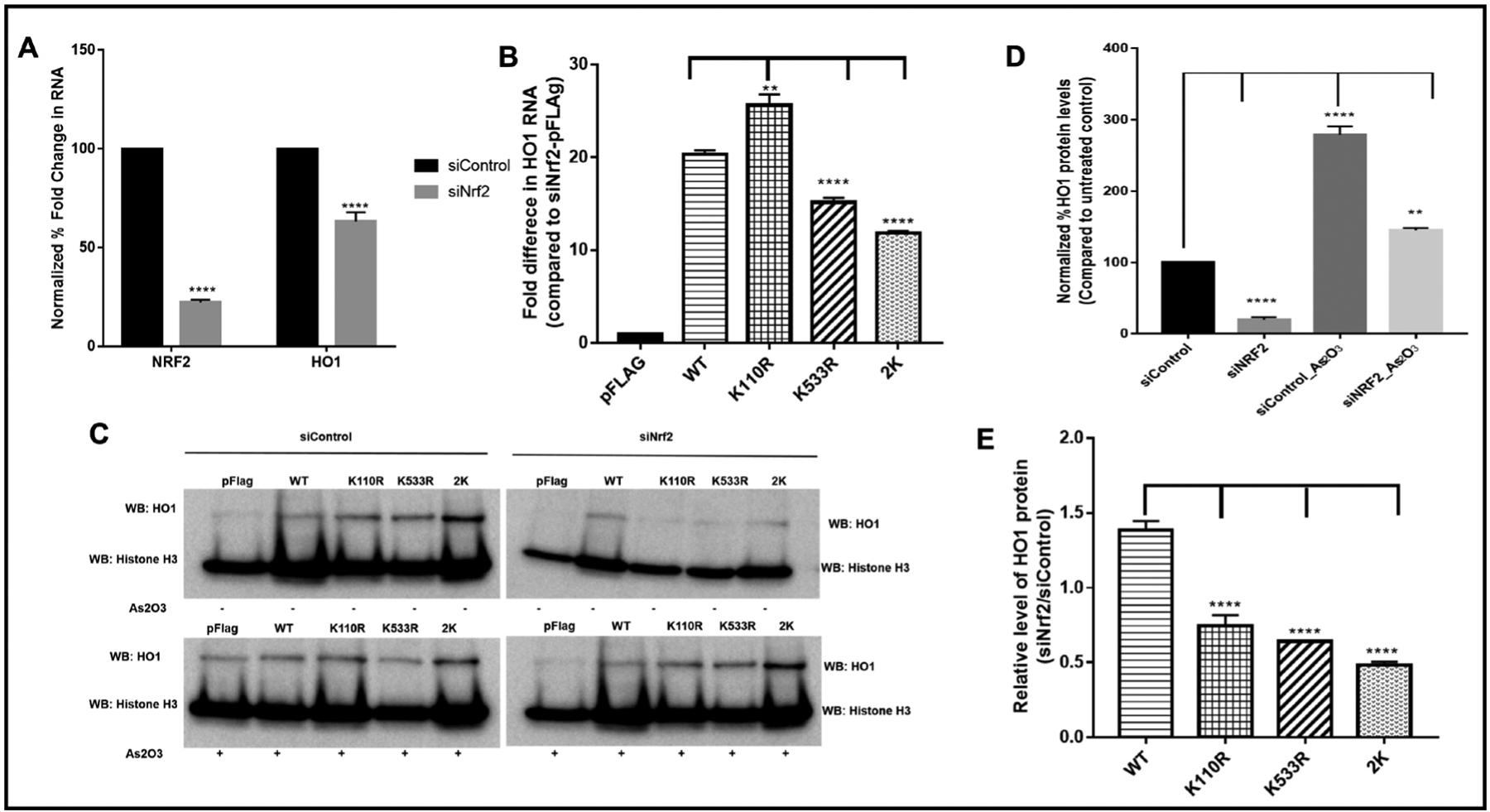 Nrf2-dependent gene transcription of Heme Oxygenase 1 (HO-1) gene is reduced in the absence of K 110 and K 533 of Nrf2 protein. To study the significance of the SUMO-acceptor lysine in Nrf2 rescue experiments were performed using plasmid expressing either wild type Flag-hNrf2 (WT) or different mutant Flag-hNrf2 (K110R, K533R or 2K (K110R/K533R) double mutant) in the HEK293T cells treated with siRNA against Nrf2. pCMV-Flag vector (pFlag) alone was used as a control. A, shown is real-time RT-PCR analysis of the levels of Nrf2 and HO-1 mRNAs in HEK293T cells treated with control siRNA or Nrf2 siRNA. 18s rRNA mRNA was used as a normalization control. Results are the mean ± S.E. (n = 3). **** indicates statistical significance, p