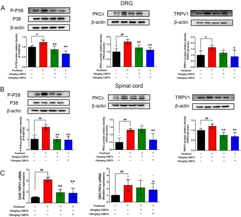 Effects of CSBTA on PIPN-induced protein and gene expression in different tissues of rats. Representative Western blots of p-p38 MAPK (left), PKCε (middle), TRPV1 (right) expression in PIPN rats (n = 5). The gene expression of TRPV1 and PKCε in DRG ( D ) of PIPN rats (n = 6). The corresponding quantitative data were present as mean ± SD. # p