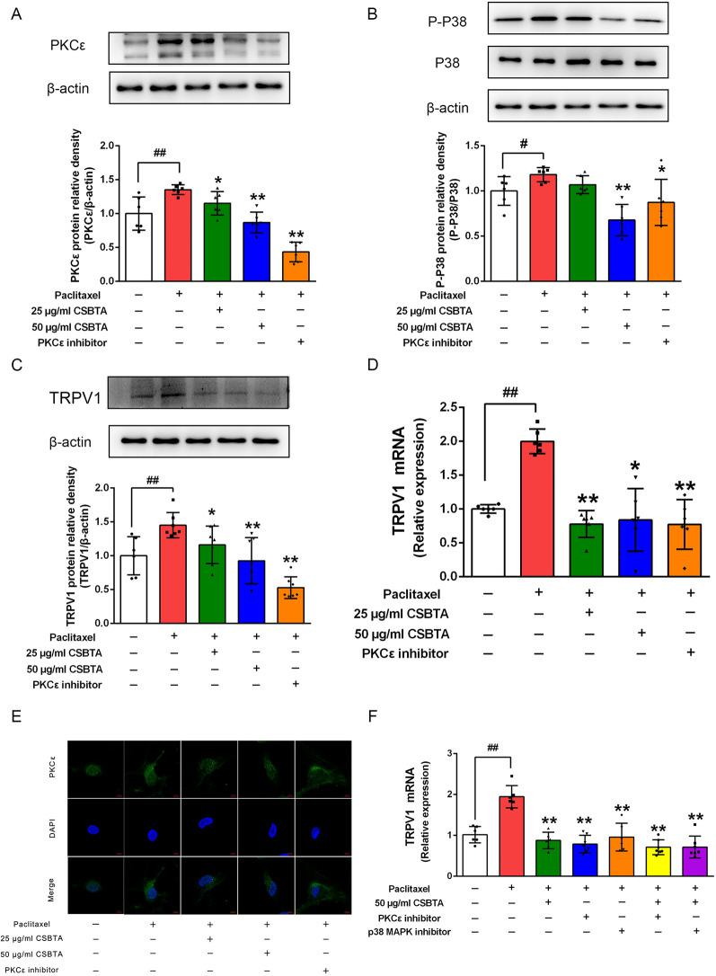Effects of CSBTA on the protein expression of PKCε ( A ), p-p38 MAPK ( B ), and TRPV1 ( C ) and the TRPV1 mRNA levels ( D , F ) in paclitaxel-stimulated primary DRG neurons. The corresponding quantitative data were present as mean ± SD. n = 6. E Representative images of PKCε (green) and DAPI (blue) stained DRG neuron. Scale bar, 5 μm. # p