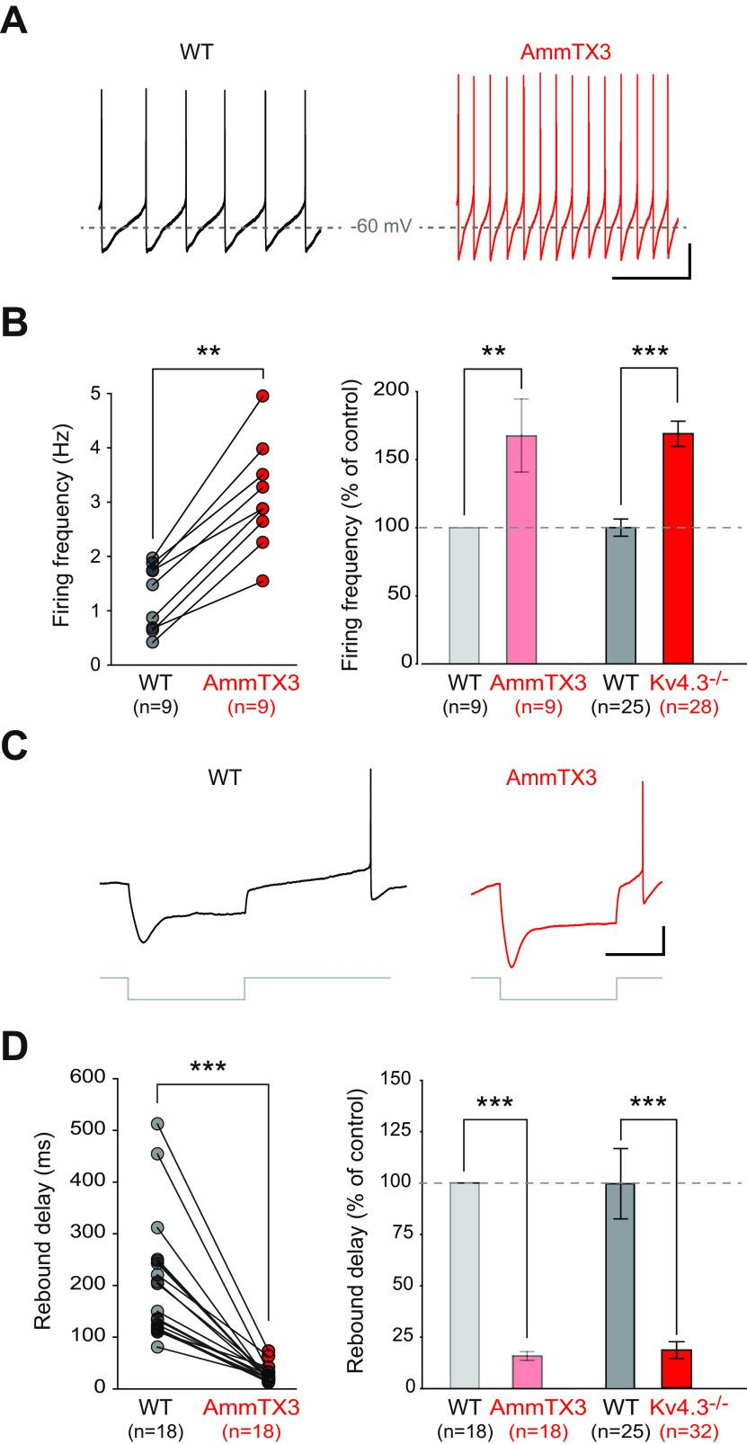 Comparing the alterations in electrophysiological phenotype after acute blockade of Kv4 channels with the Kv4.3−/− mouse model. A , Current-clamp recordings showing the spontaneous pattern of activity of a WT SNc DA neuron in control condition (black trace, left) and after AmmTX3 application (red trace, right). B , left, Line and scatter plot showing the change in spontaneous firing frequency induced by AmmTX3 application in individual WT SNc DA neurons. Right, Bar plot comparing the average change in spontaneous firing frequency after AmmTX3 application (left, light colors) or Kv4.3 channel deletion (right, dark colors). C , Current-clamp recordings showing the voltage response of a WT SNc DA neuron to a hyperpolarizing current step (bottom gray traces) in control condition (left, black trace) and after AmmTX3 application (right, red trace). D , left, Line and scatter plot showing the change in rebound delay induced by AmmTX3 application in individual WT SNc DA neurons. Right, Bar plot showing the average change in rebound delay after AmmTX3 application (left, light colors) or Kv4.3 channel deletion (right, dark colors); ** p