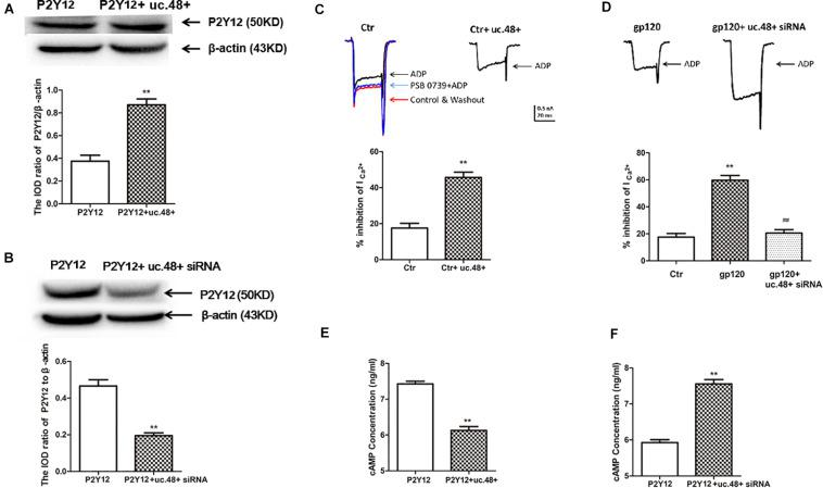 LncRNA uc.48+ positively regulated expression and activity of P2Y12 receptor. (A) P2Y12 protein content co-transfected with P2Y12 and uc.48+ plasmids was increased compared with transfected with P2Y12 plasmid alone in HEK293 cells. (B) P2Y12 protein content co-transfected with P2Y12 plasmid and uc.48+ siRNA was decreased in HEK293 cells. n = 6 independent cultures. Data are displayed as means ± SEM. ∗∗ p