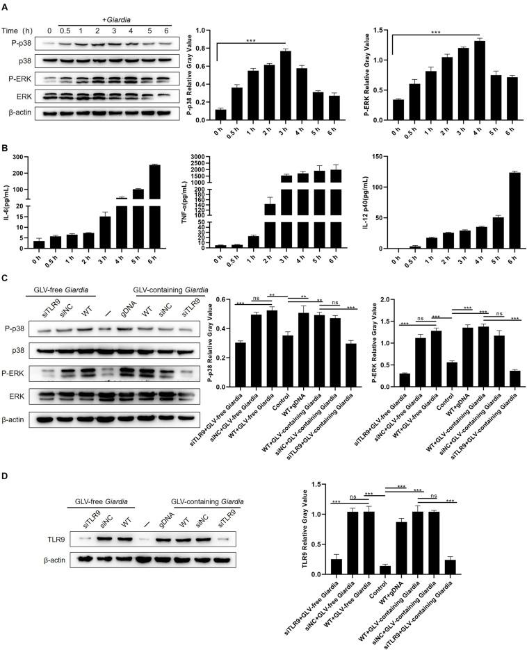 Giardia duodenalis trophozoites activated the p38 and ERK/MAPK signaling pathways via TLR9. (A) A total of 3 × 10 6 wild-type (WT) mouse peritoneal macrophages were stimulated with 1 × 10 6 G . duodenalis trophozoites for various periods (0–6 h) following which the phosphorylation levels of p38 and ERK were analyzed by Western blot. (B) The secretion levels of IL-6, TNF-α, and IL-12 p40 in cell culture supernatants were measured by ELISA. (C) Macrophages treated or not with small-interfering RNA (siRNA) targeting TLR9 (siTLR9) were stimulated with Giardia lamblia virus (GLV)–free or GLV-containing Giardia trophozoites for 3 h. (D) A total of 3 × 10 6 WT macrophages pretreated or not with siTLR9 were incubated for 3 h with 1 × 10 6 GLV-free Giardia trophozoites or 1 × 10 6 GLV-containing Giardia trophozoites, following which TLR9 expression levels were analyzed by Western blot. Relative protein expression was quantified by densitometric analysis using β-actin as an internal reference. Data are expressed as means ± SD from three separate experiments. ns, no significant difference, * p