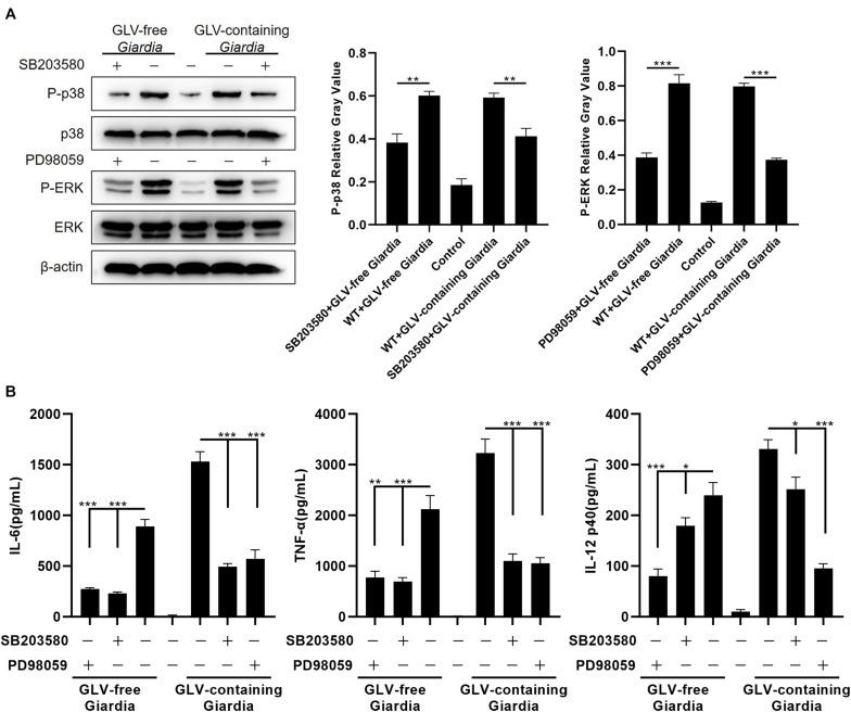 Giardia duodenalis trophozoites–induced cytokine production was disrupted by <t>p38</t> and ERK inhibitor treatment. (A) A total of 3 × 10 6 wild-type (WT) mouse peritoneal macrophages were pretreated for 30 min with the p38 inhibitor SB203580 (30 μM) or the ERK inhibitor PD98059 (40 μM) before stimulation with 1 × 10 6 Giardia lamblia virus (GLV)–free Giardia trophozoites or 1 × 10 6 GLV-containing Giardia trophozoites. The phosphorylation levels of p38 and ERK were subsequently analyzed by Western blot. Relative protein expression was quantified by densitometric analysis using β-actin as an internal reference. (B) The production of IL-6, TNF-α, and IL-12 p40 in cell supernatants was measured by ELISA. Data are expressed as means ± SD from three separate experiments. * p