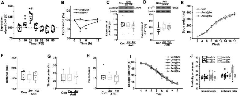 Blockage of <t>proBDNF</t> expression during the postnatal period induces spatial learning impairments. (A) The level of proBDNF in the hippocampus. (* p