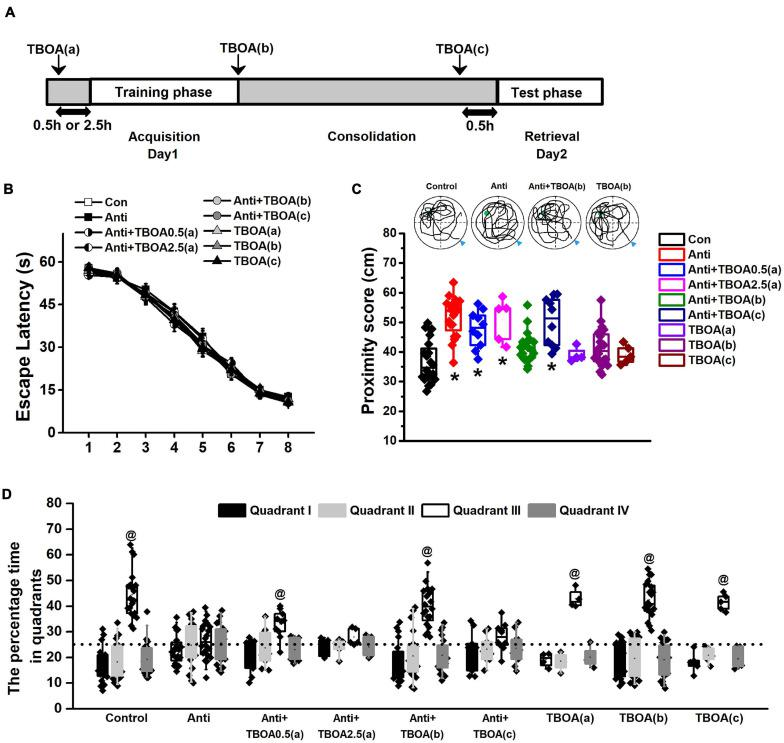 Activation of GluN2B can rescue memory consolidation induced by blocking postnatal proBDNF. The infusion of TBOA was conducted 0.5 (Anti+TBOA0.5(a)) or 2.5 h (Anti+TBOA2.5(a)) before spatial training (acquisition), immediately following training (consolidation; Anti+TBOA(b)), and 30 min prior to probe memory test (retrieval; Anti+TBOA(c)), respectively. (A) Schematic description of the experimental timeline. (B) Escape latency in the training phase and (C) the swim proximity score during the probe trial. Note the sample swimming traces demonstrating the swimming trajectories of the control, Anti+TBOA(b), and TBOA(b) groups rather than the Anti group superimposed on target quadrant. The triangle indicated the start point during probe trial. (* p