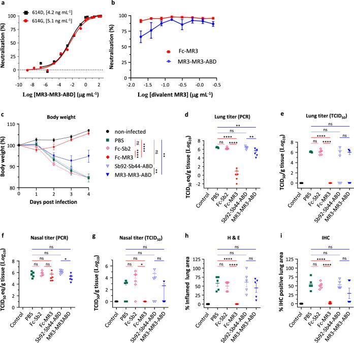 Potent divalent MR3 protects hamsters against weight loss and viral replication. a Neutralization assay of MR3-MR3-ABD using pseudovirus bearing the wild-type Spike (614D, black square) or the D614G mutant Spike (614G, red circle). Data are from one representative experiment of three (614 G) or two (614D) independent experiments. Statistics were not performed for 614G because the three experiments were performed with different sybody concentrations. b Neutralization of authentic SARS-CoV-2 by Fc-MR3 (red square) and MR3-MR3-ABD (blue circle) measured using a plaque-reduction assay. Mean ± standard deviation are plotted ( n = 3 independent experiments). c Body weights of hamsters treated with antibodies (color-coded as indicated) were measured at the indicated days after inoculation with SARS-CoV-2. Statistics were performed using two-way ANOVA followed by Sidak's multiple comparisons test. ** p