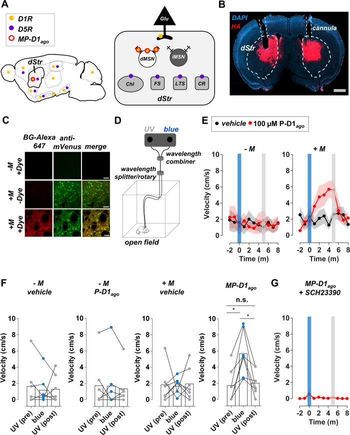 Activation of D1Rs in MSNs of the DMS with MP-D1 ago enhances movement. A D1R and its close homolog D5R are widely expressed in the brain (left panel) and are present in multiple cell types in the dorsal striatum (dStr; right panel). D1R is also expressed in the terminals of some glutamatergic afferents that innervate the striatum. DMS-dMSN D1Rs were selectively targeted with MP-D1 ago (red), which is composed of the membrane-anchor M EAAAK:ERE and P-D1 ago . B The M was virally delivered to DMS-dMSNs. Its expression (red = HA-tag staining) can be seen within the dStr. P-D1 ago and light were delivered the dStr with a reversible infusion/optical cannula. grey bar = 100 µm. blue = DAPI staining. Representative of brains from n = 7 mice. C The M is present at the surface of dStr-dMSNs according to its ability to bind the impermeant SNAP-tag binding dye SNAP-Surface Alexa Fluor 647. Labeling was not observed in the absence of the M or dye. mVenus (green) is an indicator of viral infection. grey bars = 50 µM. Representative of brains from n = 3 mice. D D1-Cre mice injected with an AAV encoding mVenus or the M and mVenus received bilateral dStr-infusions (1 µL) of either vehicle or the inactive form of P-D1 ago (cis; 100 µM) three hours prior to being placed in an open field. Locomotor activity of MP-D1 ago mice was measured in an open field. UV light and blue light were delivered to both sides of the brain. E The speed of mice with MP-D1 ago in dStr-dMSNs increased in response to a brief flash (450 nm, ~6 mW, 1 s) of blue light and returned to baseline after a brief flash (375 nm, ~9 mW, 1 s) of UV light. The behavioral response was not observed in mice lacking the M and/or P-D1 ago (400 nL infusion in each hemisphere). F The speed of each mouse was averaged over the following two-minute periods: (i) just before exposure to blue light ( UV pre ), (ii) three minutes after exposure to blue light ( blue ), (iii) and one minute after exposure to the second flash of UV light