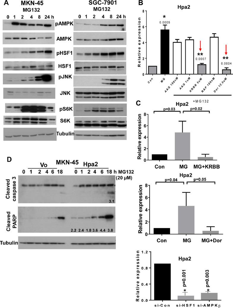 Hpa2 induction by MG132 involves AMPK and HSF1. (A) Immunoblotting. MKN-45 (left) and SFC-7901 (right) gastric carcinoma cells were left untreated (0) or were treated with MG132 (20 µM) for the time indicated. Cell extracts were then prepared and subjected to immunoblotting applying antibodies directed to phospho-AMPK (pAMPK; upper panels), AMPK (second panels), phospho-HSF1 (pHSF1; third panels), HSF1 (fourth panels), phospho-JNK (fifth panels), JNK (sixth panels), phospho-p70S6K (pS6K; seventh panels), S6K (8 panels), and tubulin (lower panels). (B) Inhibitors. MKN-45 cells were similarly treated with vehicle (DMSO; Con) or MG132 without (MG) or with the indicated concentrations of 17-AAG (AAG) (HSP90 inhibitor), KRIBB 11 (KRBB; HSF1 inhibitor), rapamycin (Rap; mTOR inhibitor), and dorsomorphin (Dor; AMPK inhibitor). Total RNA was extracted after 24 hours and subjected to qPCR applying primers specific for Hpa2. Note that Hpa2 induction by MG132 is attenuated by inhibitors of AMPK and HSF1 (red arrows).* P = 0.0005 for MG vs Con; ** P = 0.0007 and P = 0.0004 for MG+KRBB vs MG and MG+Dor vs MG, respectively. (C) Quantitation of Hpa2 induction by MG132 without or with KRIBB 11 (upper panel) and dorsomorphin (middle panel). Hpa2 expression is similarly decreased following silencing of HSF and AMPK-beta (C, lower panel). (D) Hpa2 cells are more sensitive to stress conditions. Control (Vo) and Hpa2 overexpressing MKN-45 cells were treated with MG132 (20 µM) for the time indicated. Cell extracts were then prepared and subjected to immunoblotting applying antibodies directed against cleaved caspase 3 (upper panel), cleaved PARP (second panel) and tubulin (lower panel). Note increased levels of the apoptotic markers in Hpa2 cells. Numbers underneath each blot specify band intensity in Hpa2 cells in relation to the same time point in control (Vo) cells. (color version of figure is available online). AMPK, activated protein kinase; Hpa2, heparanase 2; HSF1, heat shock facto