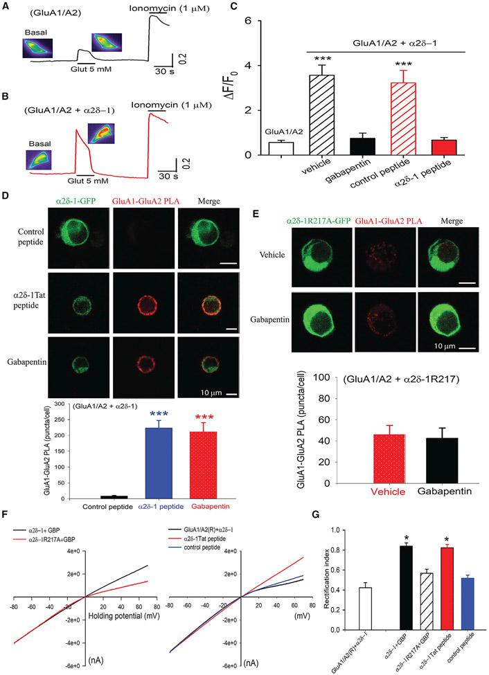 Gabapentin and the α2δ-1CT-Tat C terminus peptide restore heteromeric GluA1/GluA2 receptors diminished by α2δ-1 coexpression (A and B) Original GCaMP images and signals show intracellular Ca 2+ changes in response to 5 mM glutamate (Glut) in HEK293 cells transfected with GluA1/GluA2 (A) or GluA1/GluA2/α2δ-1 (B). (C) Mean data show effects of treatment with vehicle (n = 54 cells), gabapentin (100 μM, n = 28 cells), α2δ-1CT-Tat peptide (1 μM, n = 26 cells), or control peptide (1 μM, n = 21 cells) on the ratio (ΔF/F0) of GCaMP signals elicited by glutamate. ***p