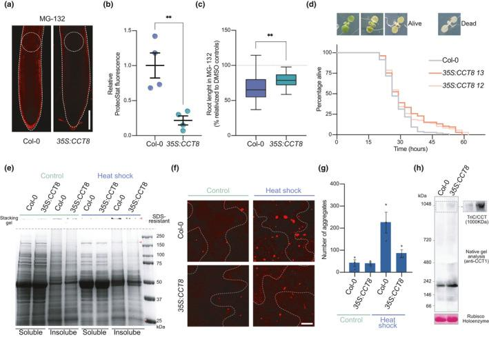 Overexpression of CCT8 is sufficient to ameliorate protein aggregation in differentiated cells and confer resistance to proteotoxic stress in plants (a) Representative images of ProteoStat staining of 6 DAG Col‐0 and 35S : CCT8 germinated and grown in plates supplemented with 15 µM MG‐132. Scale bar represents 100 µm. (b) Relative ProteoStat fluorescence levels comparing the areas depicted with white dotted circles in Figure 4a . Graph represents mean ± s.e.m of four independent experiments. (c) Root lengths of MG‐132‐treated plants relative to their corresponding controls treated with DMSO. Statistical comparisons in (b–c) were made by two‐tailed Student's t test for unpaired samples. p value: ** p