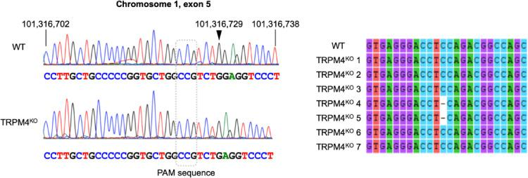 Comparison of DNA sequence between the WT and TRPM4 KO cells . Left: Sequencing chromatographs of genomic DNA samples obtained from WT and TRPM4 KO cells. The numbers indicate locations in the rat chromosomal DNA (accession: NC_005100.4). The guanine at site 101,316,729 (arrowhead) is missing in the DNA of TRPM4 KO cells. Right: Sequencing results of 8 samples (reverse complemented). The cytosine residue between thymine and cytosine is missing in TRPM4 KO 4 and TRPM4 KO 5 samples.