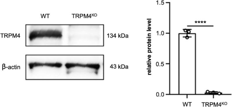 Detection of TRPM4 protein using western blotting. TRPM4 protein expression was significantly lower in TRPM4 KO than in WT cells. β -actin was used as loading control. The TRPM4 expression level was normalized by dividing the band intensity of TRPM4 by that of β -actin. Chart represents average of three independent experiments. Error bars represent SEM. **** p