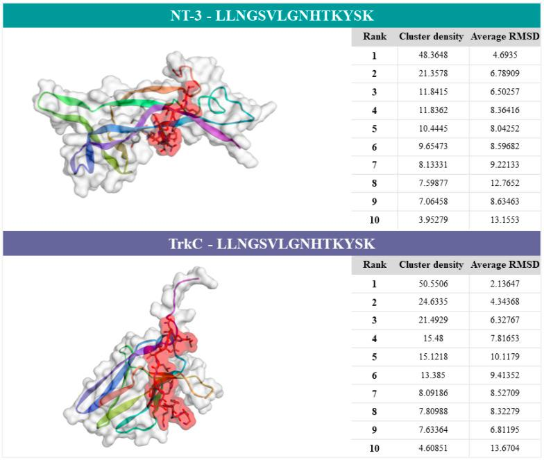 Predictive results of the CABS-dock server. Legend: computational modelling of protein–peptide docking of NT-3 (1nt3:A) or TrkC (1wwc:A) and the peptide sequence (part of the second extracellular loop of NET: LLNGSVLGNHTKYSK). The docking prediction figures of proteins–peptide correspond to model 1. Clustering details of the ten models are shown in the respective tables.