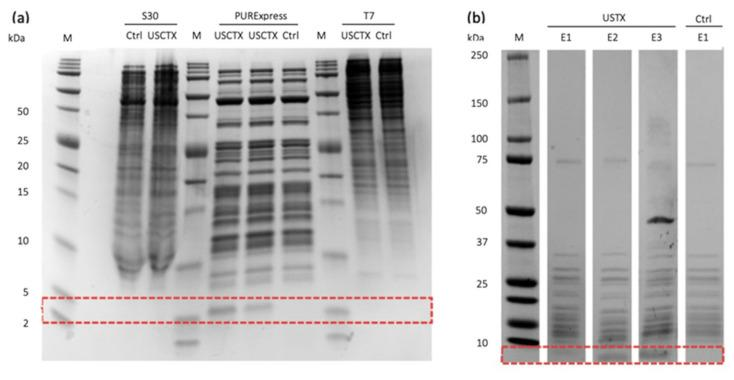 Production and purification of USCTX. ( a ) Commercially available cell-free synthesis systems differ in their ability to produce USCTX (anticipated band size = 4.3 kDa). No such band was produced by the S30 Extract System (left) or the TnT T7 Insect Cell Extract Protein Expression System (right), but a band of the expected size was produced by the NEB PURExpress In Vitro Protein Synthesis System (middle, in duplicate to highlight reproducibility). ( b ) Purification of USCTX, showing the elution fractions E1–E3 from the His-Spin column. The red box indicates the area in which USCTX bands should appear.