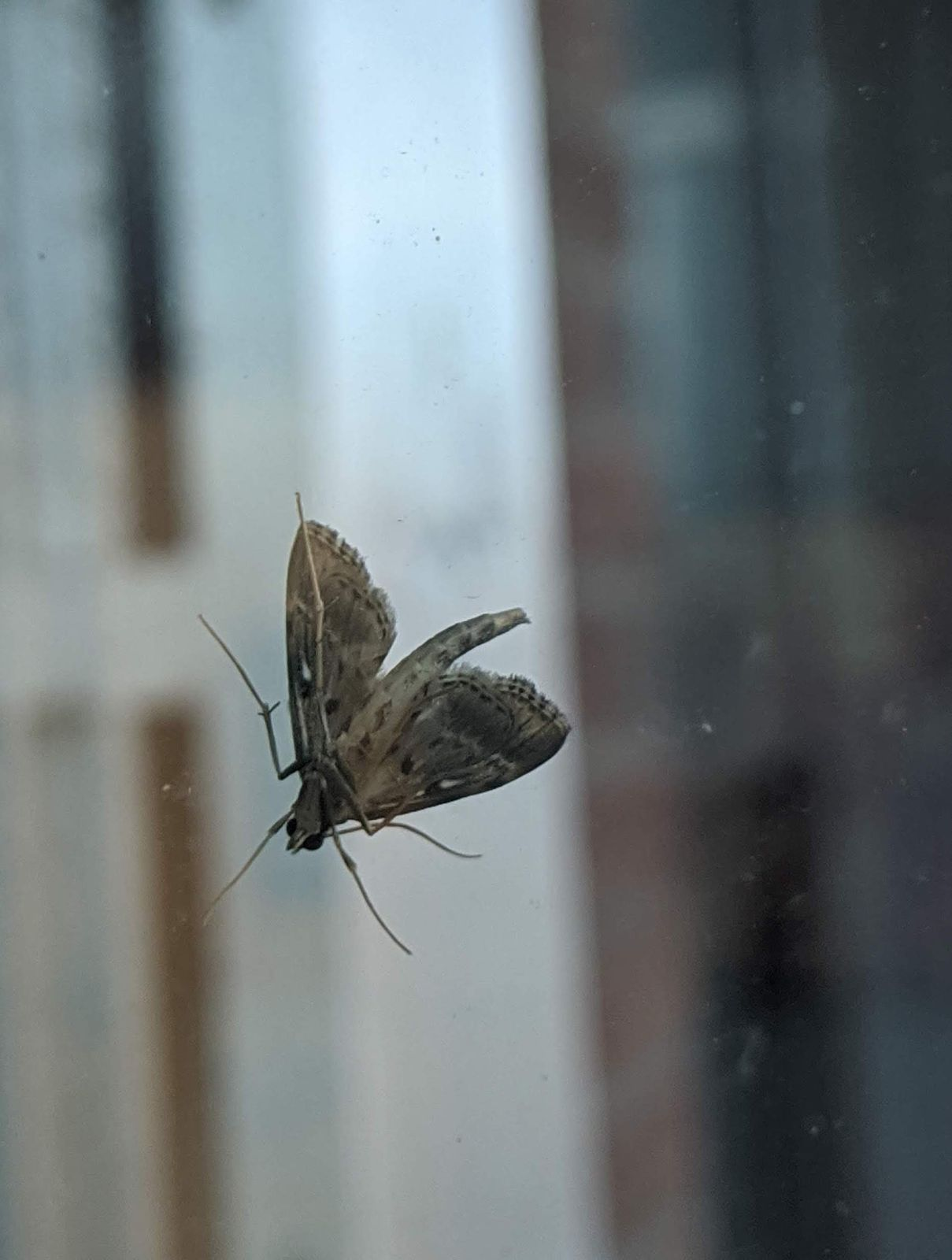 This little thing really wants to come back in! Social distance yourself, Moth!