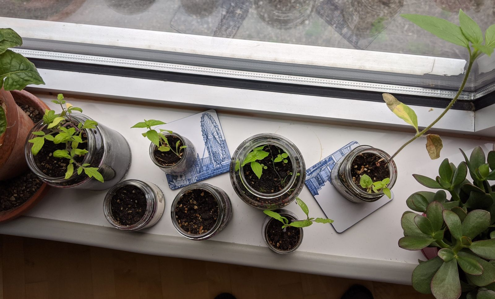 Apparently pickle, sauerkraut, prunes, and olive jars work great for growing seeds!