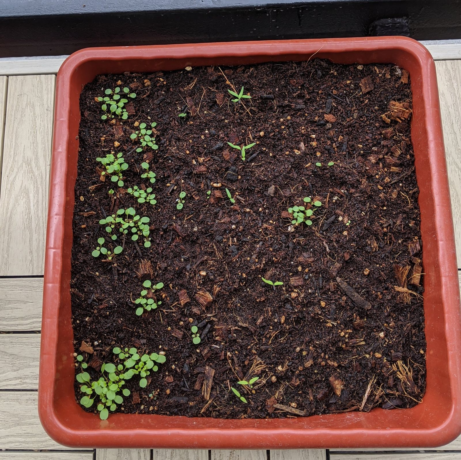 We planted watercress, tomatoes, and basil. But of course we forgot to label them, so at this point, it's just a surprise!