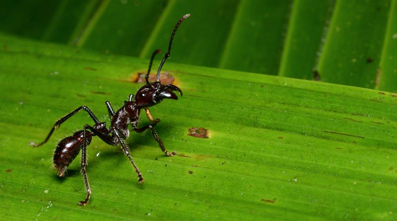 A-temida-tocandira-Paraponera-clavata-Foto-Geoff-Galice-Creative-Commonsjpg