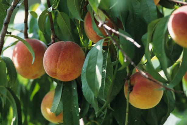 ripe-peaches-1553468173wly.jpg