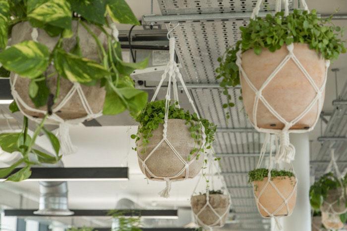 plantes accrochees au plafond