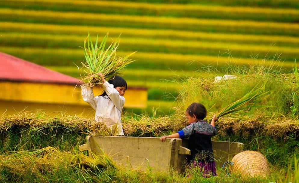 Thu hoạch lúa trên Mù Cang Chải