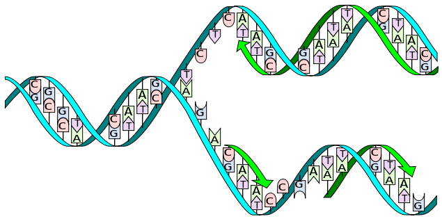 sketch DNA being split replicated