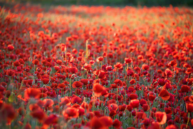 flowers poppy thousands hundreds red many field endless possibilities
