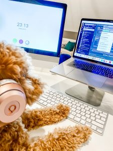 A furry mini goldendoodle sits at a desk with laptop in front of him and a headset on.