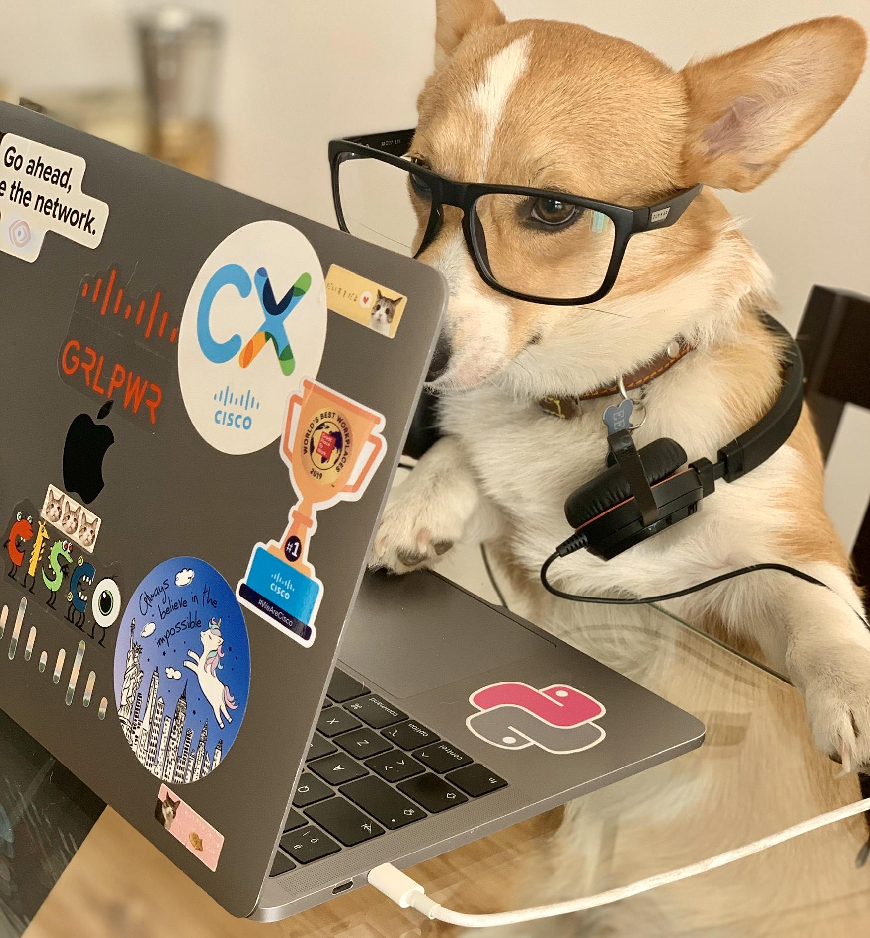 Cisco Pet wearing glasses behind laptop.