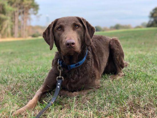 Gergely's dog, Harley (Chesapeake Bay Retriever) looks at the camera.