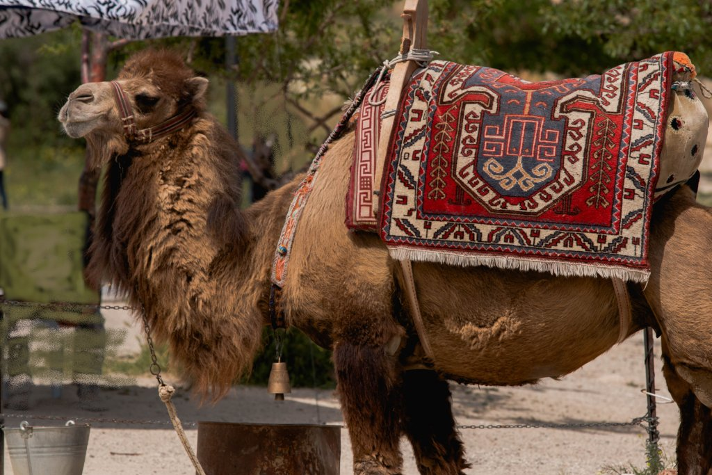 Camel with blanket