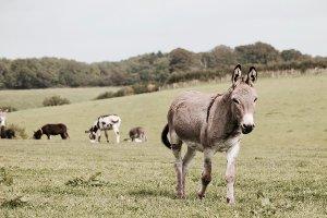 Donkey walking through a pasture.