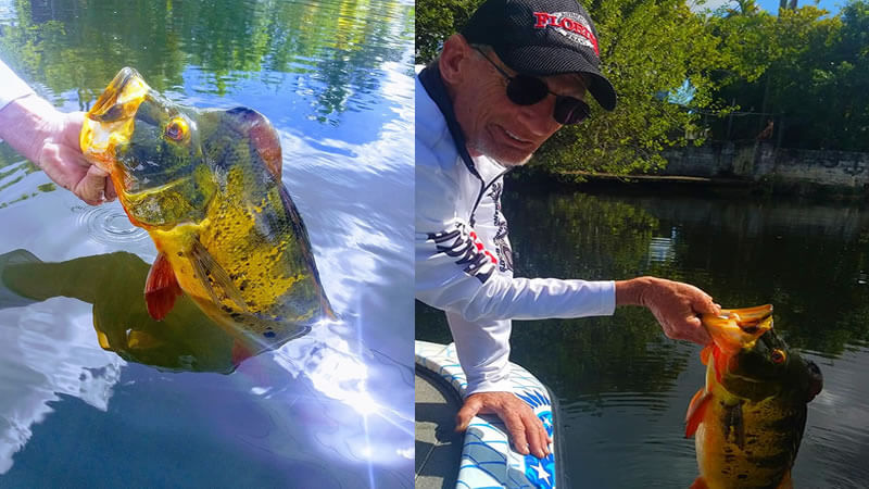 Peacock Bass Spawn Fishing 2