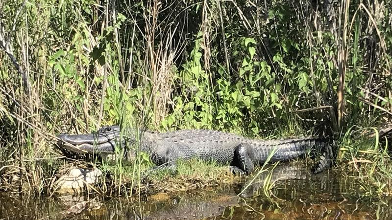 Everglades Holiday Park Alligator
