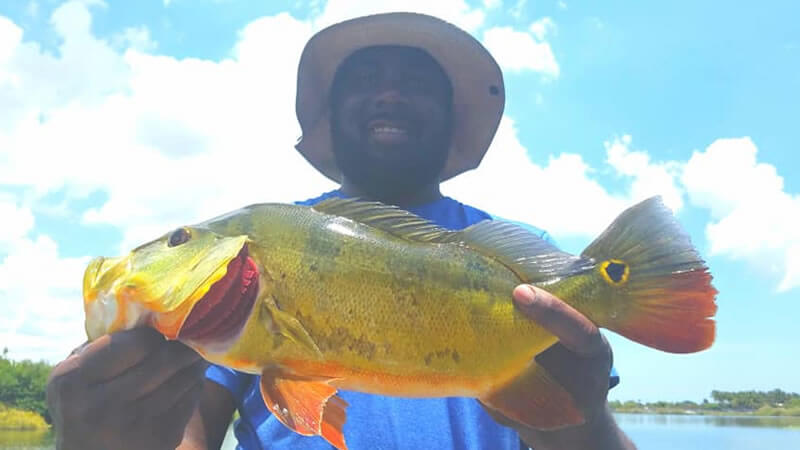 Super Hot Peacock Bass Fishing Charters in South Florida