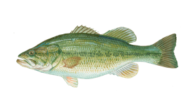 largemouth bass knowledge