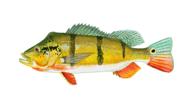 Peacock Bass Fish Species