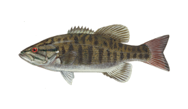 Smallmouth Bass Fish Species