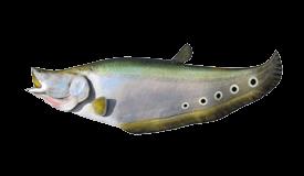 clown-knifefish