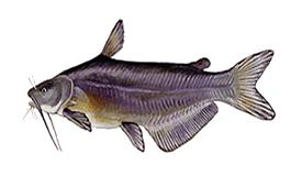 Blue Catfish - Chesapeake bay program
