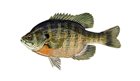 Bluegill Fish Species