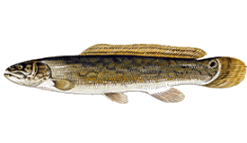 Bowfin Fish Species