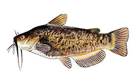Brown Bullhead fish