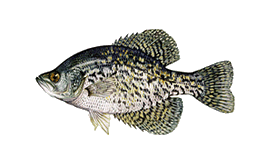 Crappie-Speck - Lake Wallenpaupack fishing yellow perch