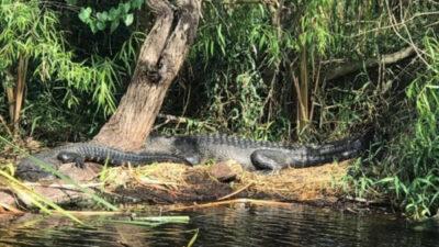 Everglades-Outdoor-Alligators