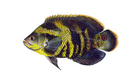 Oscar Fish Species