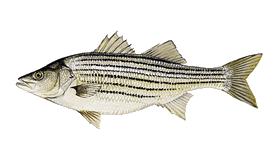 largemouth bass trips North Florida - STRIPED BASS
